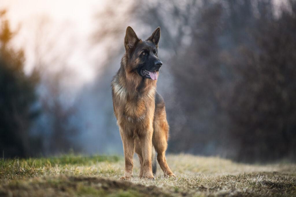 foto cane pastore tedesco